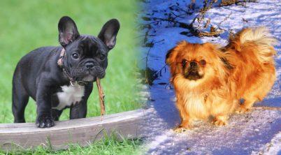 Pekingese dog vs the French bulldog