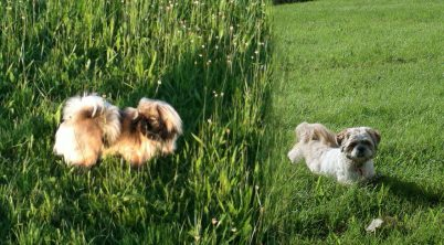 The Pekingese Dog vs. the Shih Tzu