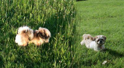 The Pekingese Dog vs. the Shih Tzu