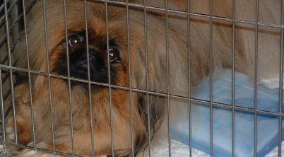 Pekingese Dog CrateTraining Guide